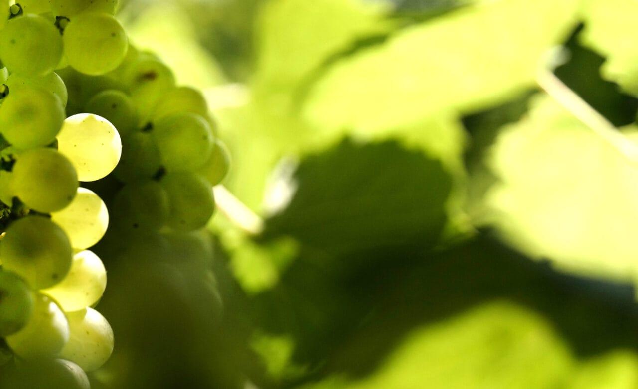 L1320028 messori vini uva